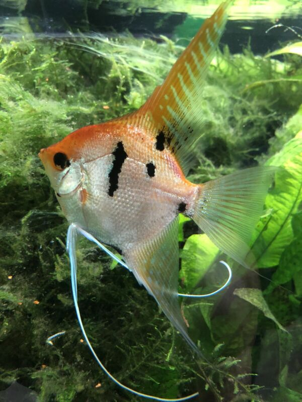 Golden  Koi Angelfish - Dime Size (4 Pack)+(4 FREE) Will Ship 8 Total To You