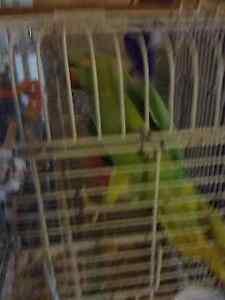 Ringneck Parrot  Female 4 years old Tamed Berwick Casey Area Preview