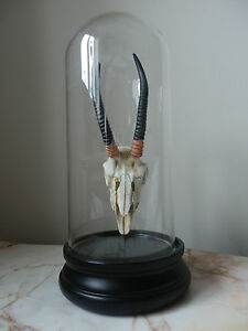 Unusual Faux Taxidermy Antelope Skull  In A Glass Dome Study Desk Display.
