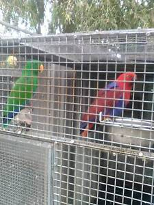 BIRDS FOR SALE Windsor Gardens Port Adelaide Area Preview