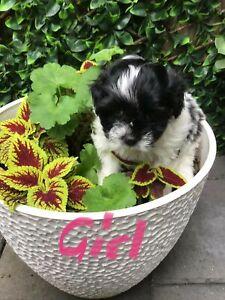 Shitzu x Maltese Poodle