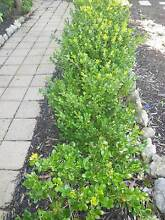Japanese Box buxus grower direct perth shrub tree cheap hedging Applecross Melville Area Preview