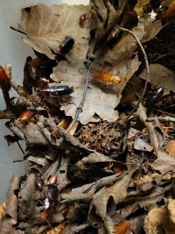 ☆50ct RED RUNNER~NYMPHS/ADULT Roach-FEEDER-COCKROACH=VIVARIUM=INSECT☆BUG☆