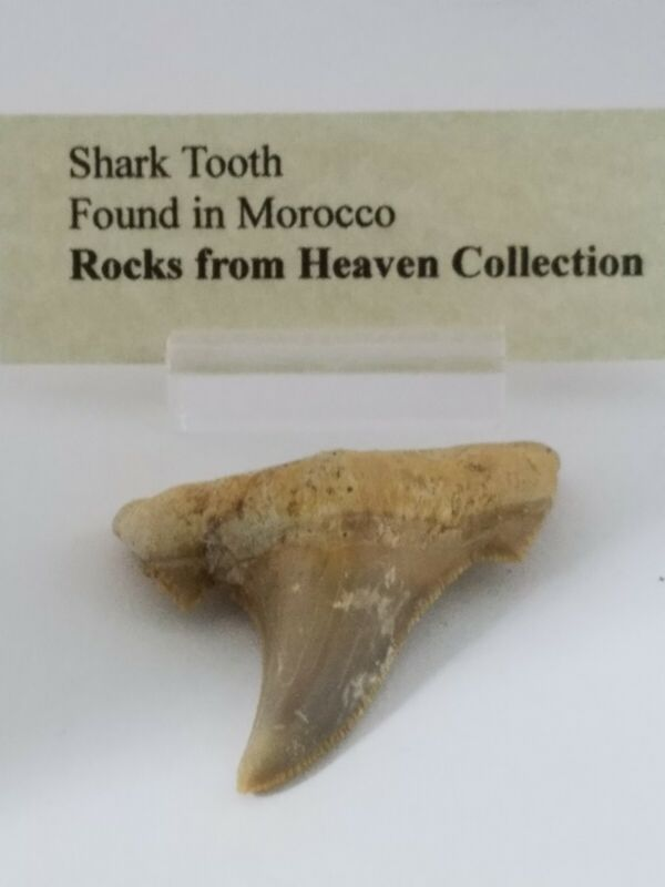 Ancient shark tooth 55 mm.
