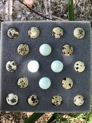 18 Assorted Coturnix Quail Eggs - 4 Celadon Blue Included Free Shipping