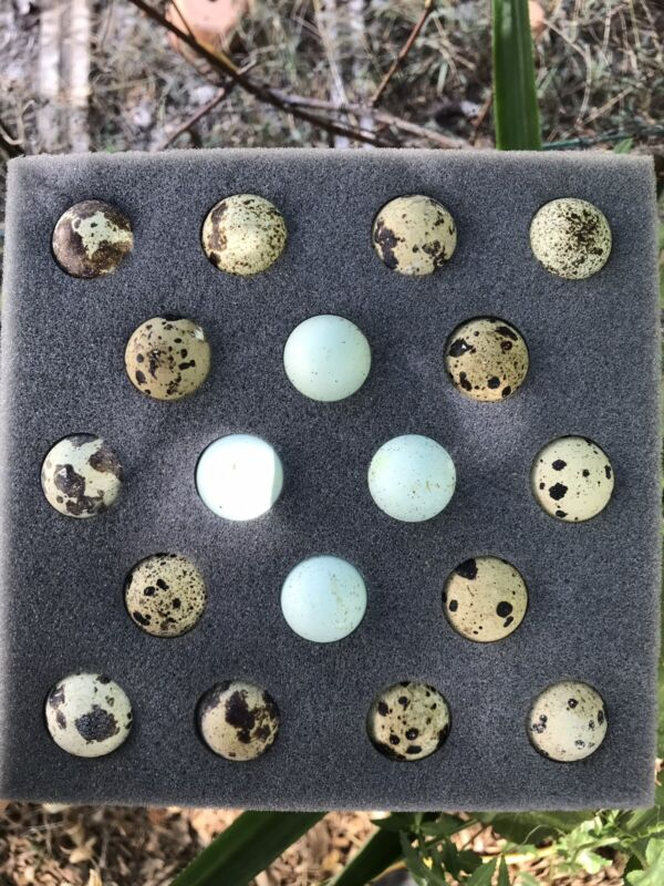 (18) Assorted Coturnix Quail Eggs - 4 Blue Included **FREE SHIPPING!**