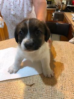 Dogs For Sale Sydney Region