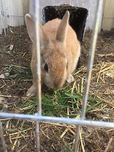 Rabbits $40 each Chester Hill Bankstown Area Preview