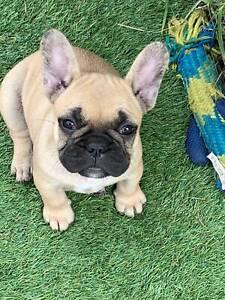 French Bulldog pedigree puppies