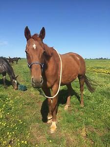 TB Gelding FREE TO APPROVED HOME ONLY Tocumwal Berrigan Area Preview
