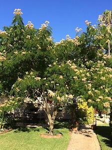 Persian silk tree - ornamental- flowering garden tree Corryong Towong Area Preview