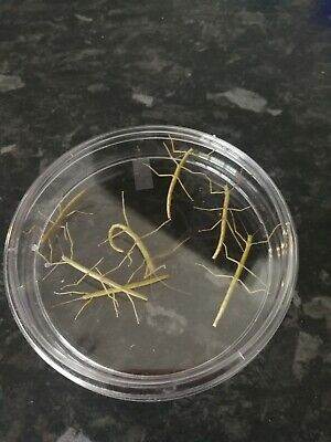 New 5 x Junior Indian Stick Insects in petri dish (+2)