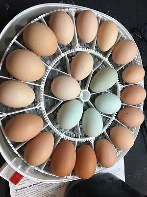 6 Barnyard Mix Hatching Eggs Rare Breeds Svart Honas Marans Rir Ayam