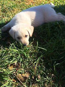 7 week old Labrador puppies Rye Park Boorowa Area Preview