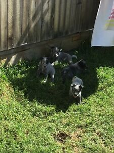 Blue cattle puppies