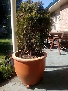 Pot plants established in terracotta pots - cypress and brunfelsi Quakers Hill Blacktown Area Preview