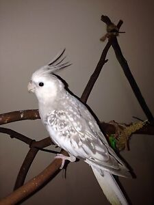 Young cockatiel needs new home - on hold Narangba Caboolture Area Preview