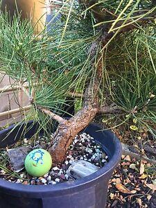 Bonsai Japanese Black Pine. Seed Field Grown. Raw Stock Hampton Bayside Area Preview