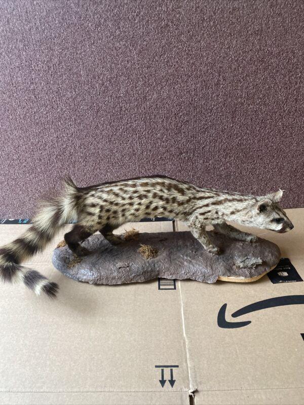 Full Mount Taxidermy African Genet Cat