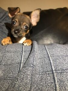 CUTE CHIHUAHUA PUPPY!!!! FOR SALE!!!!
