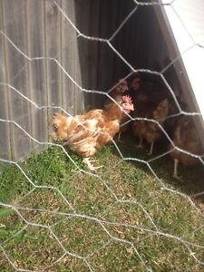 """ISA Brown Rescued Chickens """" Hens """" poultry Dapto Wollongong Area Preview"""