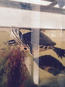 2 Turtles and Tank
