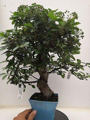 Bonsai di Piracanta h. 57 cm Visita il mio negozio!