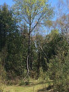 10 Large Poplar trees