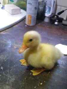 Yellow Pekin Ducklings for sale. Clyde Casey Area Preview