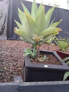 Three Agaves in Ceramic Pots Jindalee Brisbane South West Preview