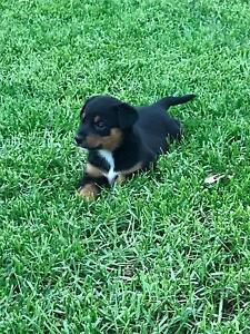 Kelpie pups Candelo Bega Valley Preview