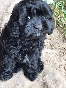 Cavoodle pups 1st generation Launching Place Yarra Ranges Preview