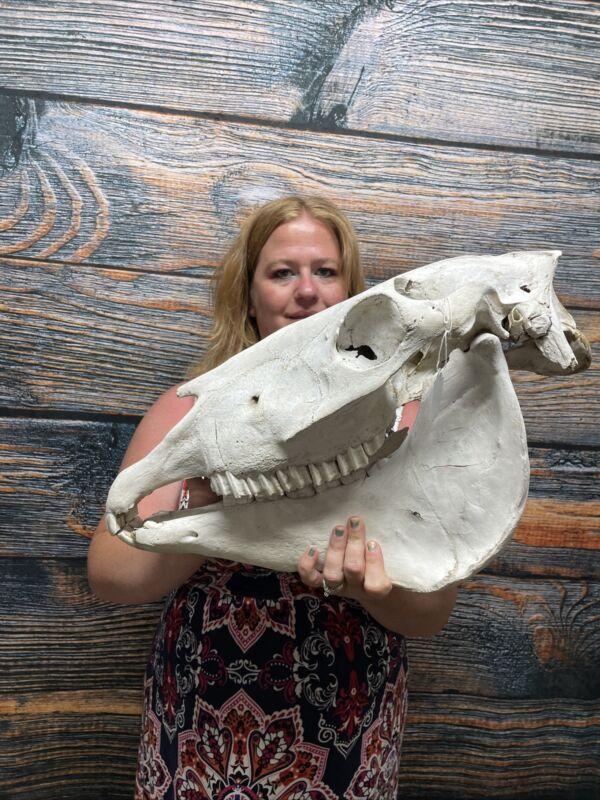 XL Horse Skull With Jaws  Mount Unique Cabin Western Ranch Yard Decor Head Art