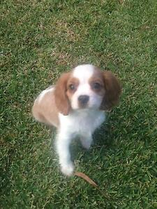 Cavalier for Play Dates, Walking & Training Berwick Casey Area Preview