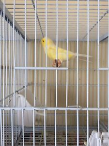 Canary's and finches for sale