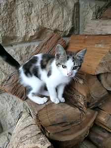 Urgent kittens needing new homes Neerim South Baw Baw Area Preview