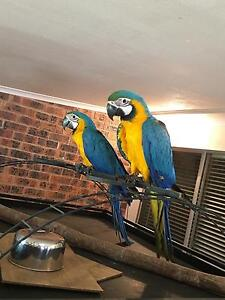 Blue & Gold Macaws Londonderry Penrith Area Preview