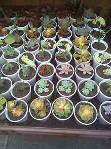 Succulent cuttings packs of 50 Bidwill Blacktown Area Preview