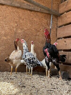 6 Oshamo Asil Gamefowl Fertile Hatching Eggs Npip