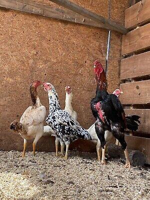 6 Oshamo Asil Gamefowl Fertile Hatching Eggs Npip