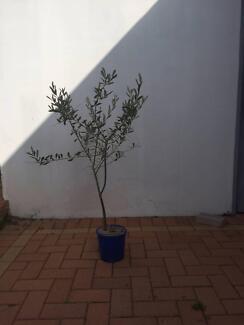 olive tree 1 meter tall