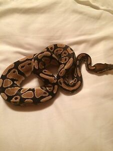 2015 pastel ball Python for trades.