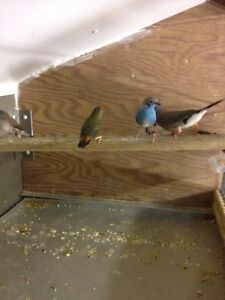 Finches for Sale $40 each