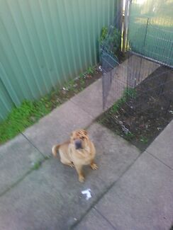 Sharpei 4 years male.... Fairfield West Fairfield Area Preview