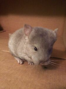 Chinchilla baby for sale