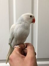 Hand Raised Baby Ringnecks - Blue Pallid (lacewing) Hallam Casey Area Preview