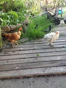 Chickens  Nacked Necks Frizzles Araucana X Plymouth Rock Sussex Wadalba Wyong Area Preview