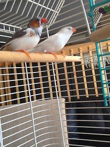 Pair of rescued bonded finches