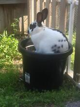 for sale rabbit email me at  Baldivis Rockingham Area Preview
