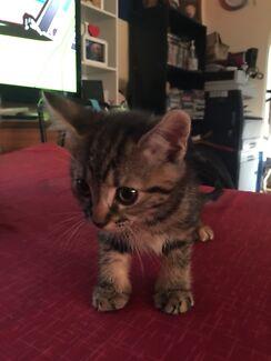 8weeks Kittens ($5 each)